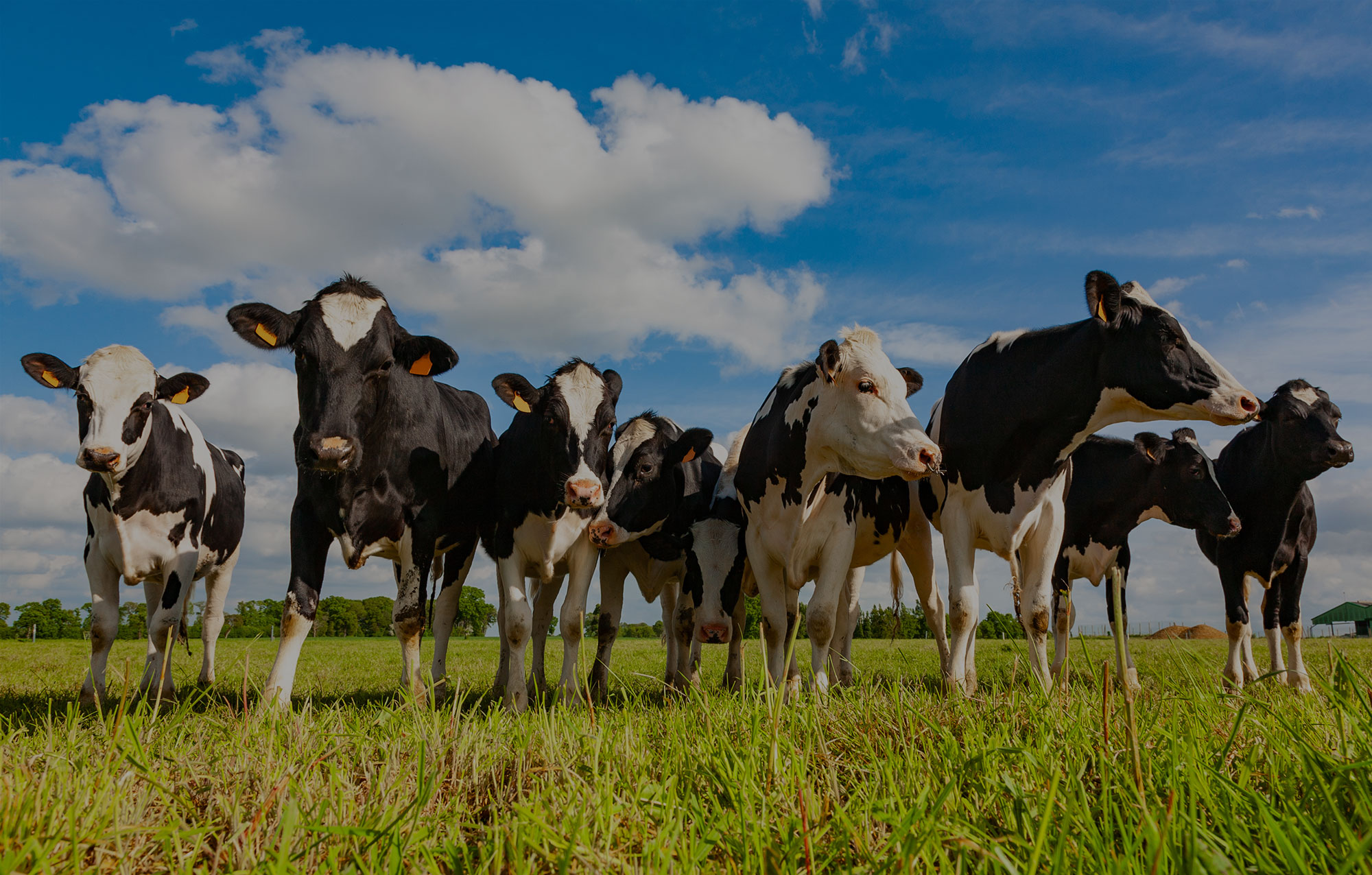Holstein Cows In the Pasture